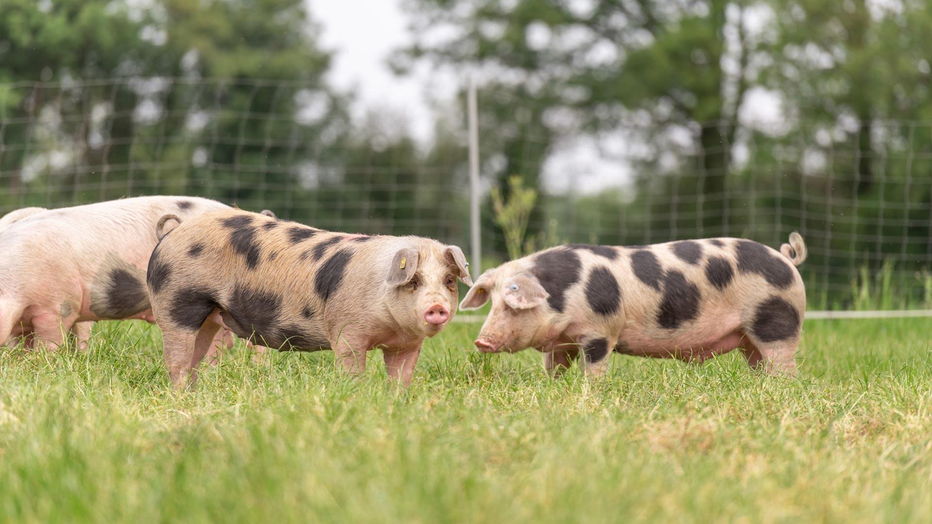 Kalieber Buntes Bentheimer Schwein