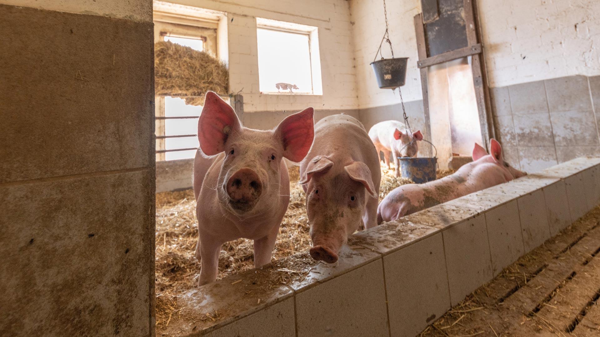 Kalieber Aktivstall-Schwein